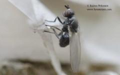 Sapromyza hyalinata 2