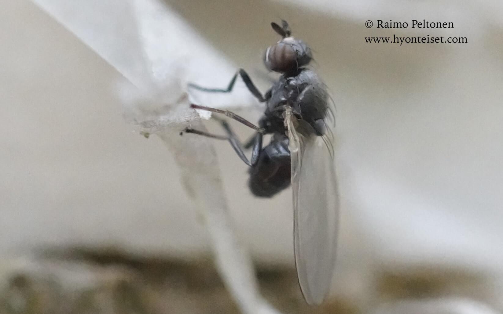 Sapromyza hyalinata (det. Sven Hellqvist), 5.6.2017 Jyväskylä