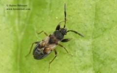 Scolopostethus thomsoni 2