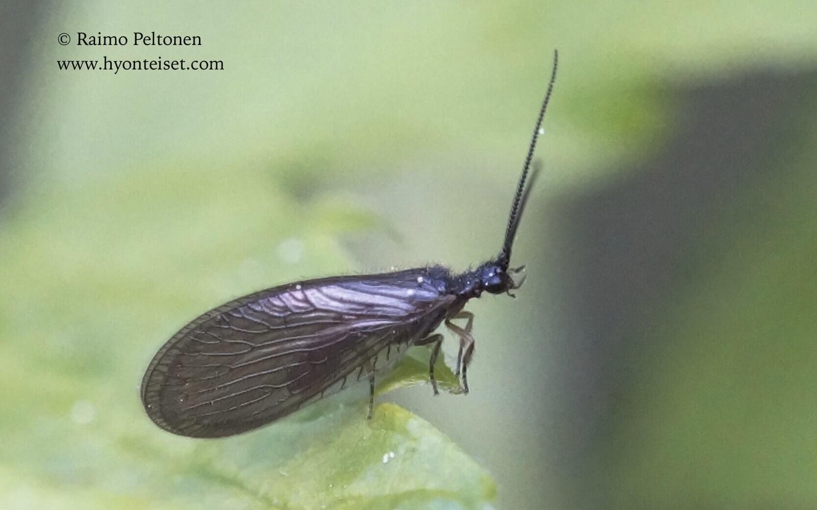 Sisyra nigra-tummarantakorento, 4.6.2017 Jyväskylä