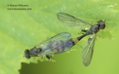Sphegina clunipes 1