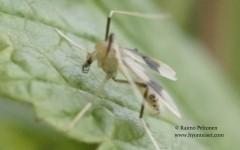 Stenochironomus gibbus 2