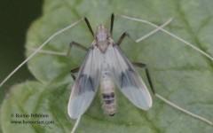 Stenochironomus gibbus 1
