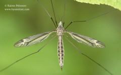 Tipula lateralis 1