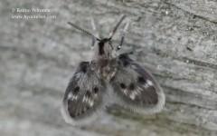 cf. Parajungiella sp.