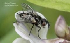 Admontia blanda 2