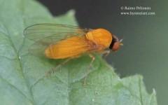 Agathomyia wankowiczii 2