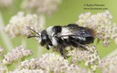 Andrena cineraria 3