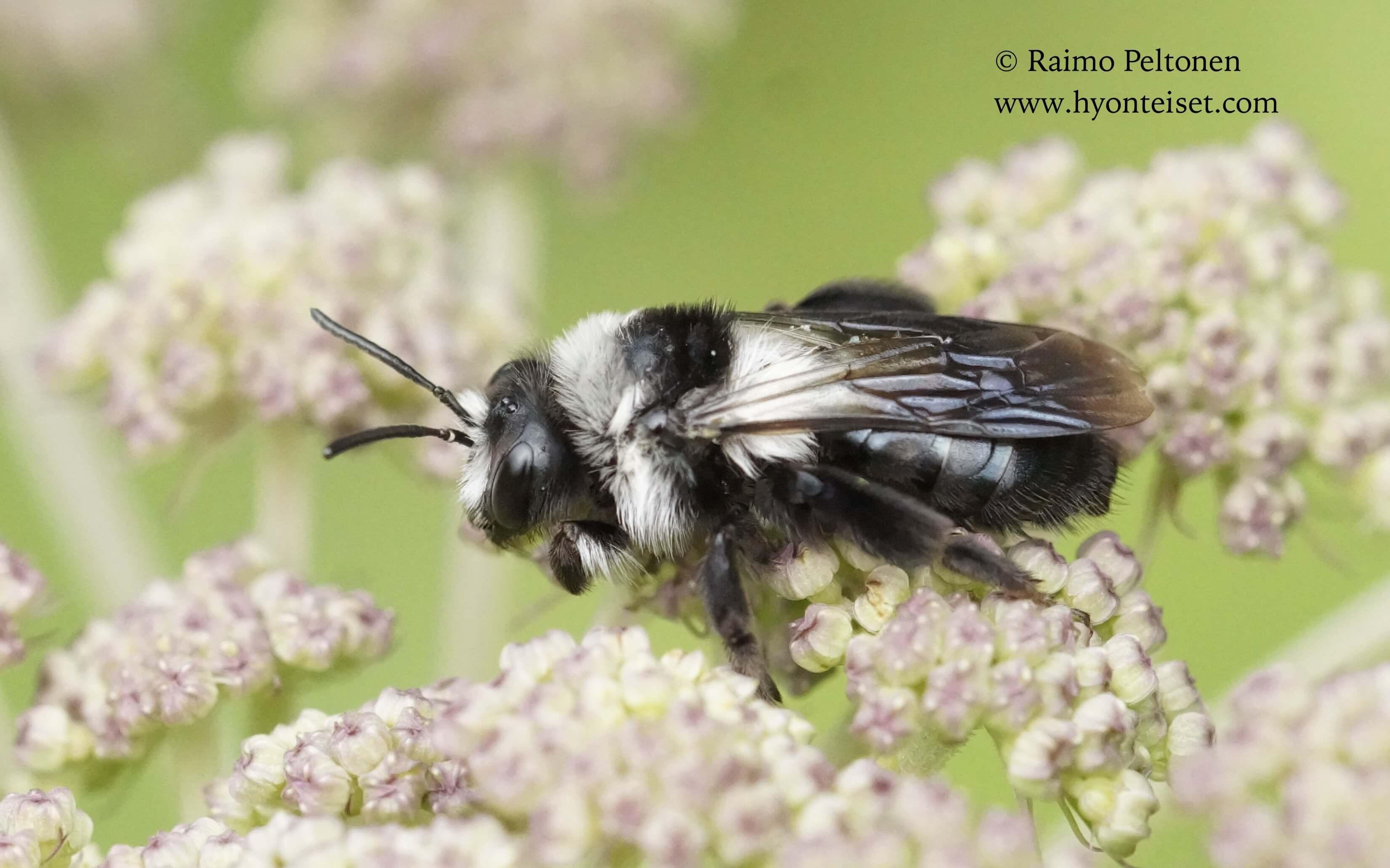 Andrena cineraria-hohtomaamehiläinen, naaras (conf. Juho Paukkunen), 21.7.2017 Jyväskylä