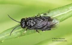Caliroa annulipes Klug