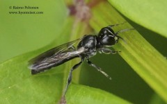 Crossocerus cetratus 2