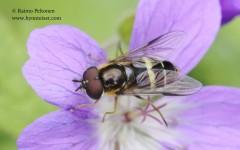 Dasysyrphus tricinctus 1