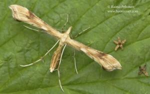 Gillmeria pallidactyla 2