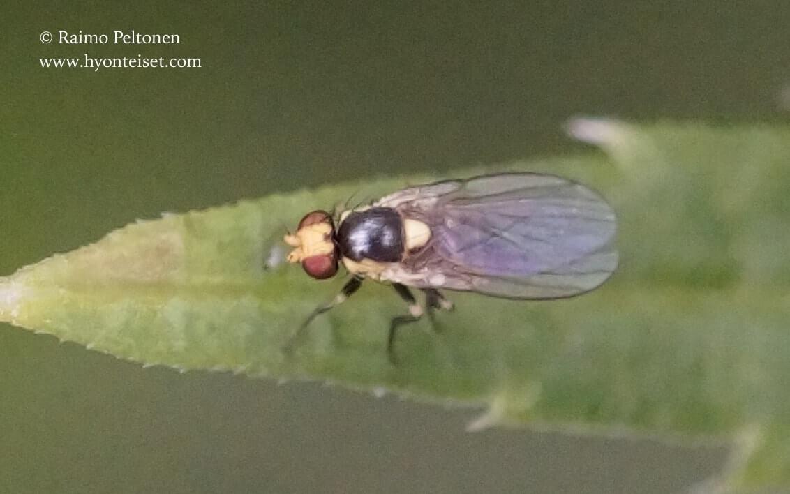 Liriomyza sp. (conf. Kaj Winqvist), 18.7.2017 Jyväskylä