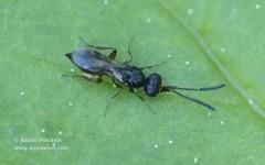 Megaspilidae sp. 1