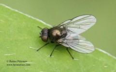 Melanagromyza sp. 2