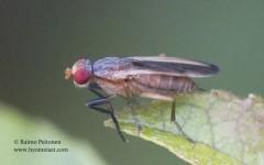 Pherbellia albocostata 2