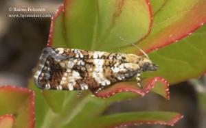 Phiaris palustris