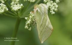 Pseudoips prasinanus 1