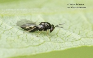 Pteromalidae sp. 1