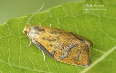 Ptycholoma lecheanum