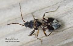 Scolopostethus pictus 1