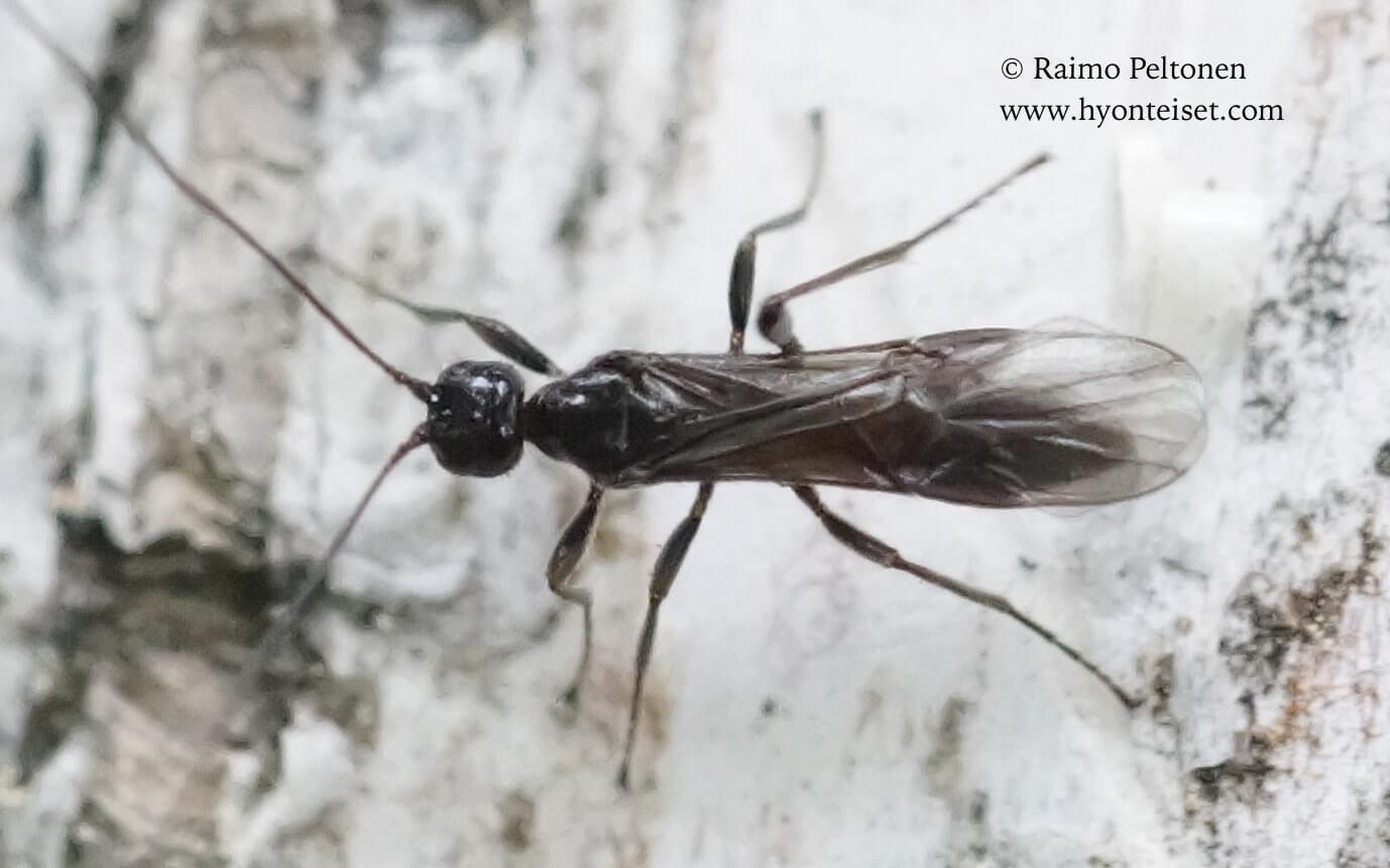 cf. Doryctinae sp. (det. Martti Koponen), 3.7.2017 Muurame