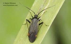 Adelphocoris seticornis 1