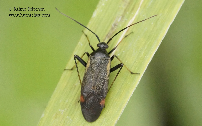 Adelphocoris seticornis-apilaviittalude, 7.8.2017 Jyväskylä