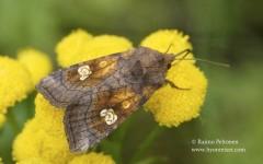 Amphipoea oculea