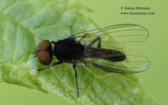 Callomyia amoena 1