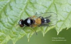 Callomyia amoena 3