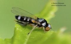 Callomyia speciosa 2