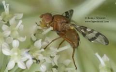 Chaetostoma stackelbergi 2