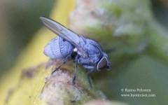Leucopis atritarsis 2
