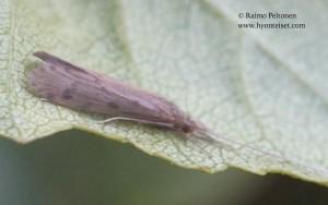 Oecetis lacustris