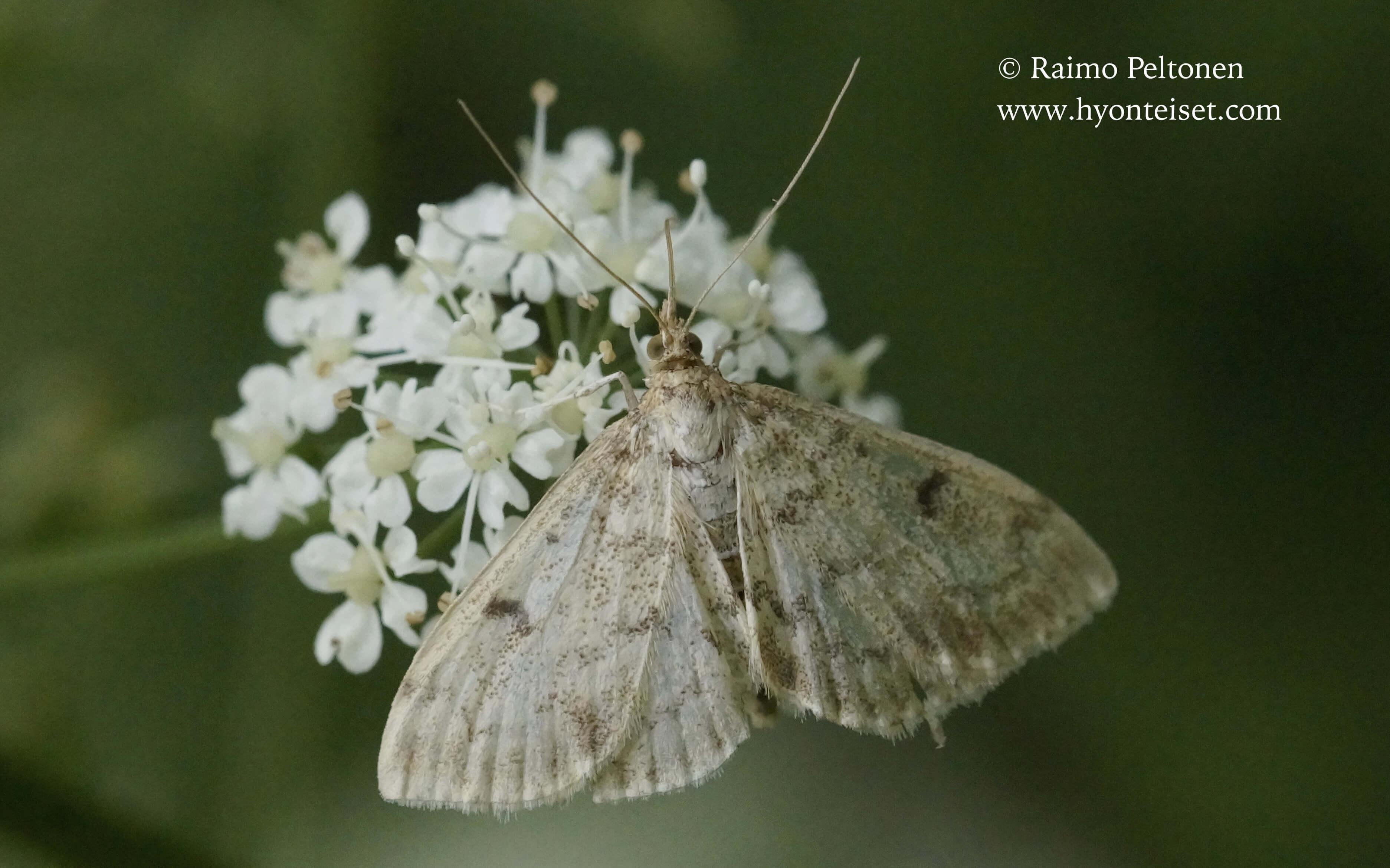 Phlyctaenia perlucidalis-ohdakekoisa, 21.7.2017 Jyväskylä