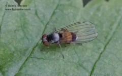 Agathomyia alneti/elegantula