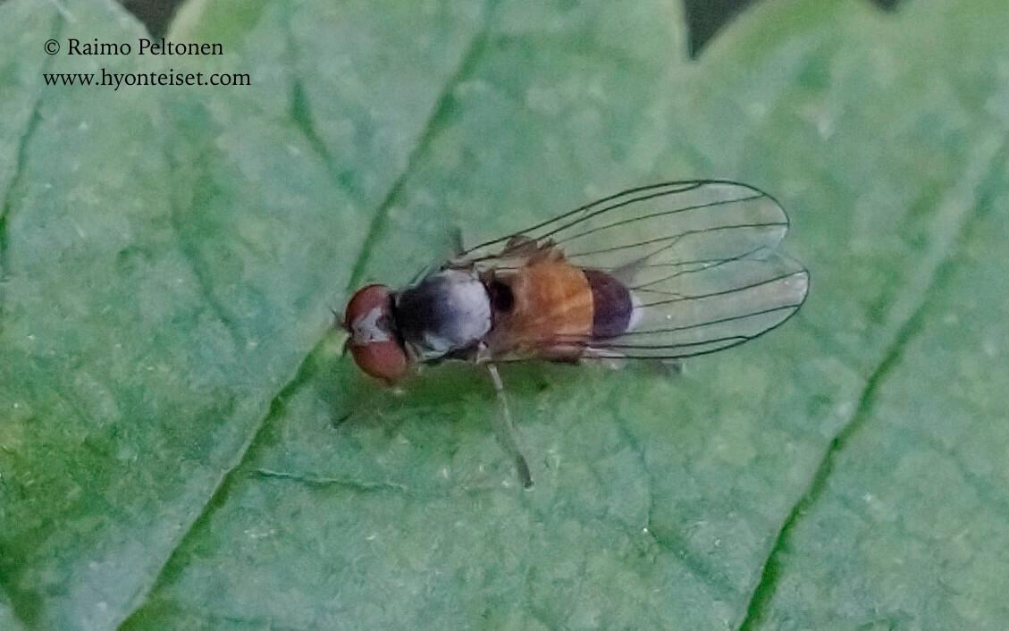 Agathomyia alneti/elegantula (det. Meeno Reemer), 24.8.2017 Jyväskylä