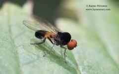 Agathomyia alneti/elegantula/woodella