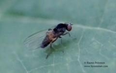 Agathomyia cf. boreelle