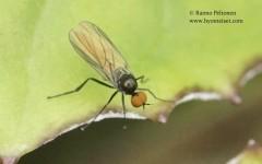 Bicellaria sp. 2