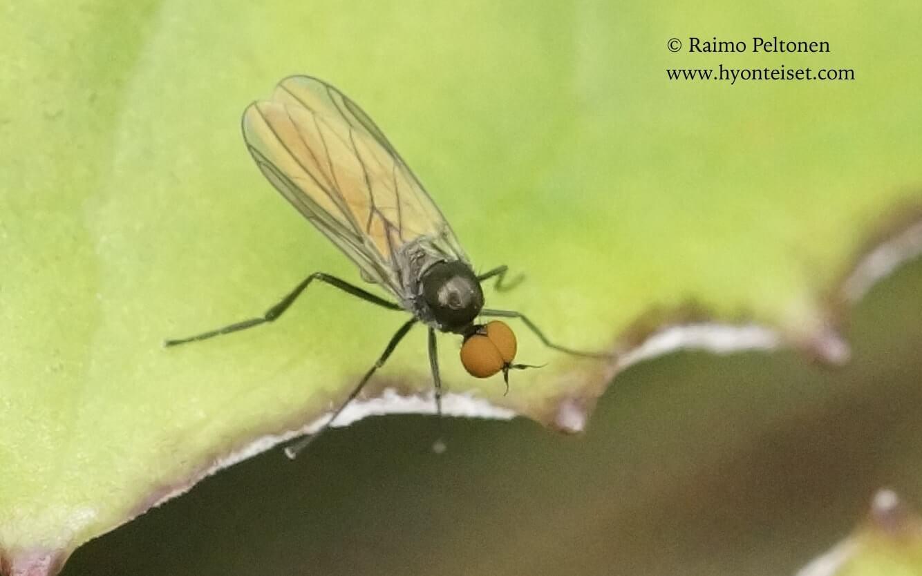 Bicellaria sp. (det. Sven Hellqvist), 17.9.2017 Jyväskylä