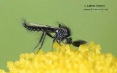 Ceratopogonidae sp. 2