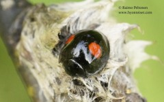 Chilocorus renipustellatus