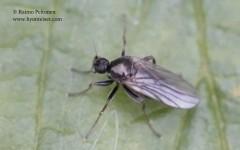 Crossopalpus curvinervis 1