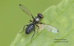 Geomyza cf. subnigra