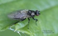 Lotophila atra 1
