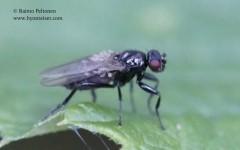 Lotophila atra 2