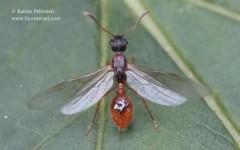 Myrmica sp. 2